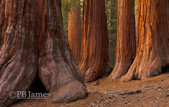 Giant Sequoia Parallels