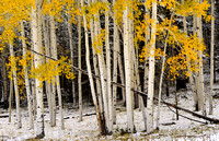 Early Snow on Aspen Bushel