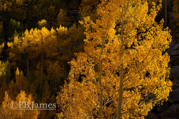 Blazing Quaking Aspen